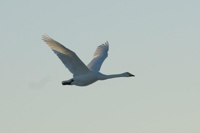 Whooper Swan (Cygnus cygnus), Easter Loch, Uyeasound