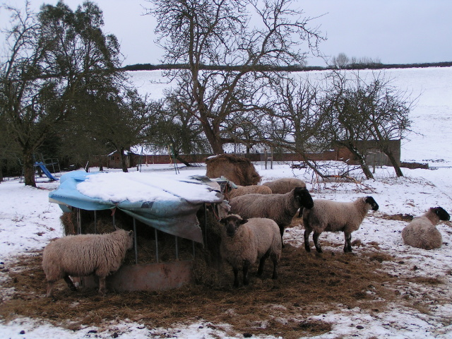 Sheep in the snow at Bidwell