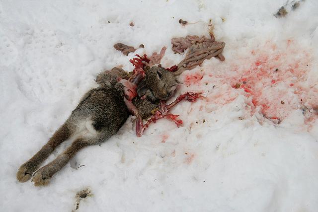 A rabbit kill