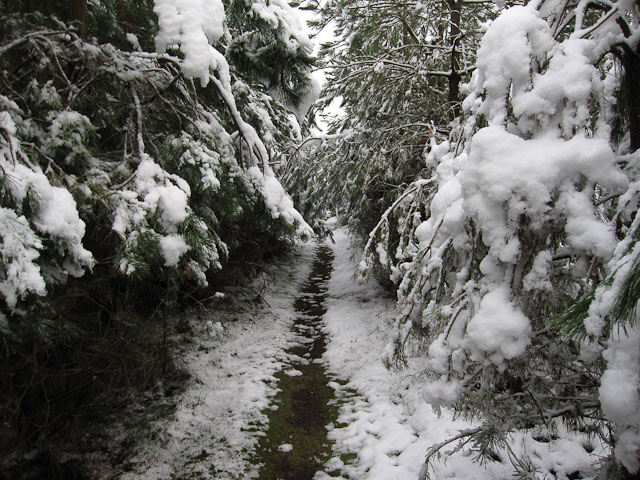 Footpath through the conifers