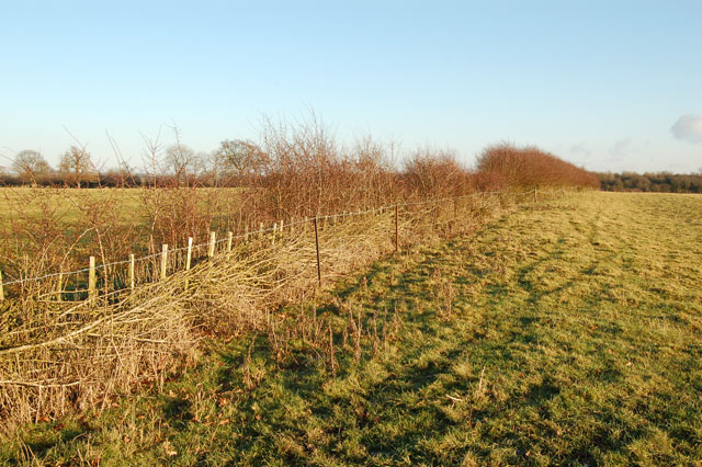 Laid hedge south of Willoughby
