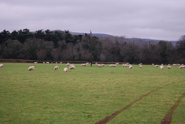 Sheep grazing