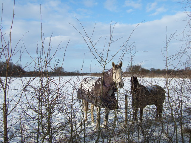 Horses in winter coats
