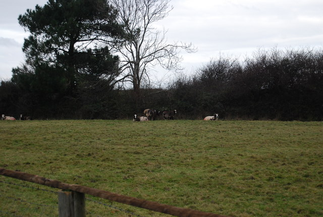 Sheep resting by the hedge, just outside Bossington