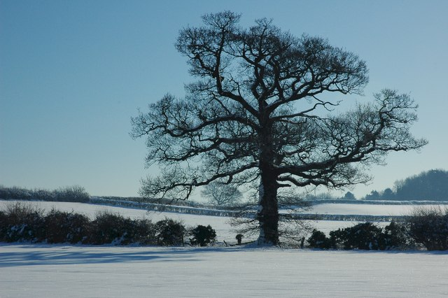 Oak tree at Dunstall