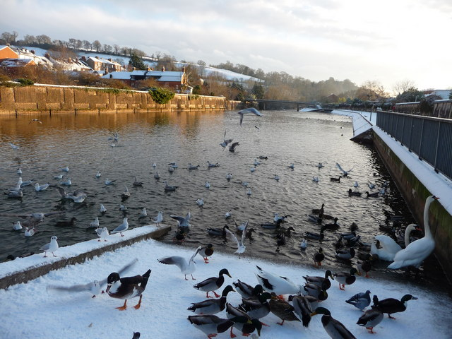 Tiverton : The River Exe & Ducks
