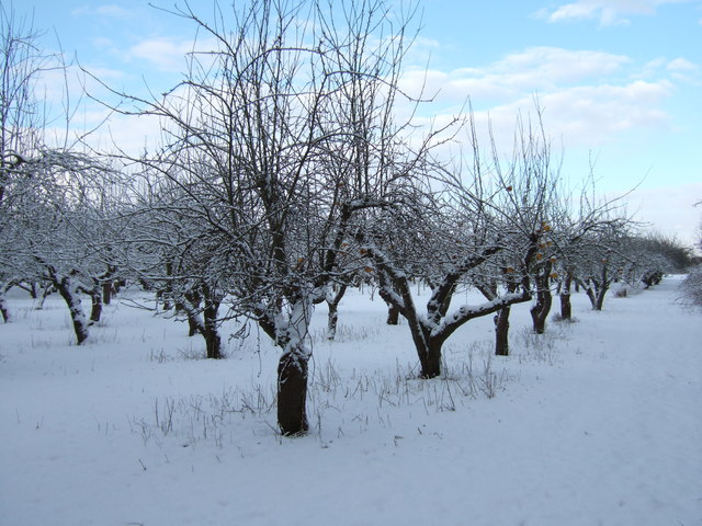 Apple orchard in mid winter
