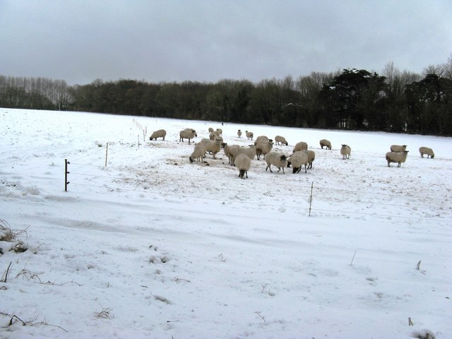 Sheep scratching around for food