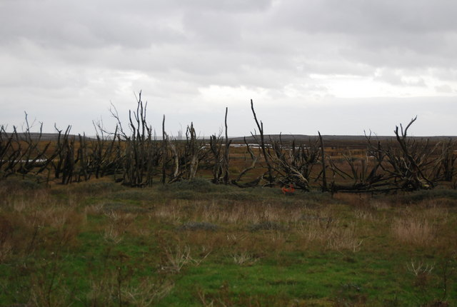 Dead trees, the marsh, Porlock Weir