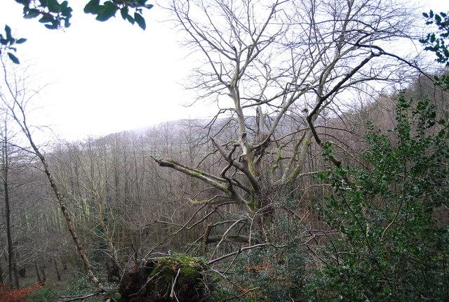 Dead Tree, Allerpark Combe