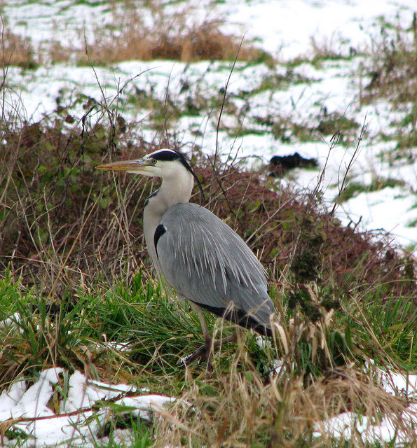 Grey Heron foraging by Carleton Beck
