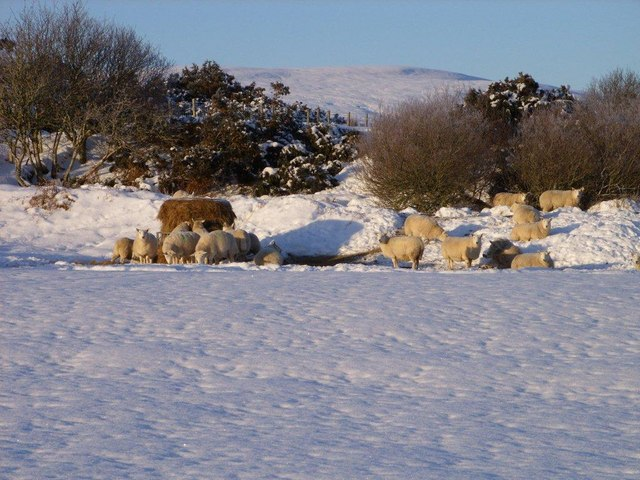 Ewes in wintry park west of the Halladale River