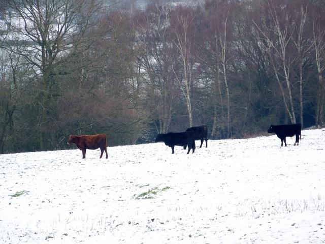 Cattle near Romsey
