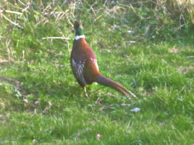 Pheasant in my garden