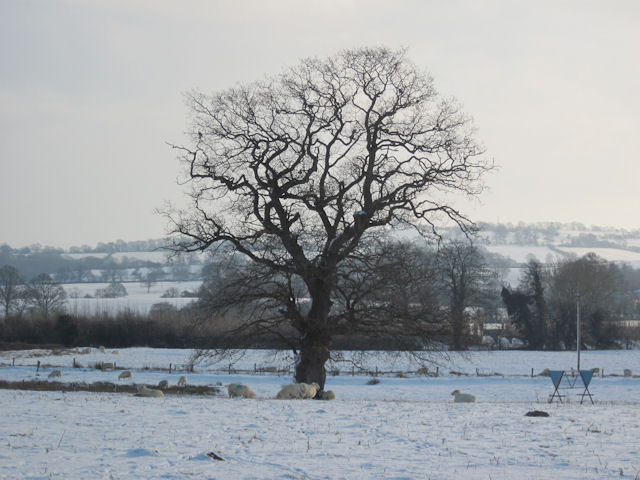 Tree and sheep in field