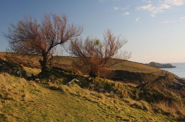 Tamarisk trees above Trevean Cove