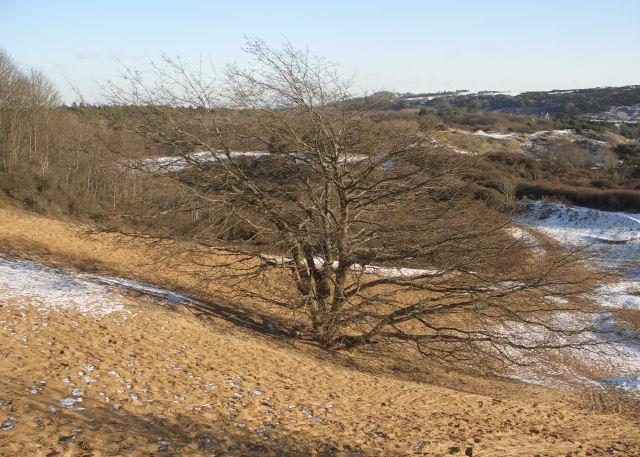 Solitary tree, Merthyr Mawr Warren