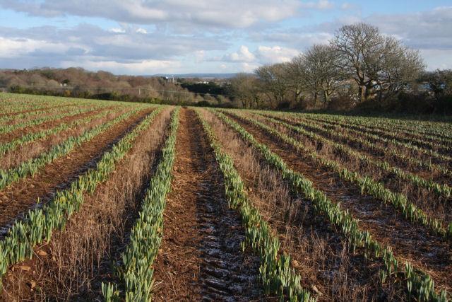 Daffodil field below Lesingey Round