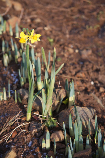 The first daffodil of the decade