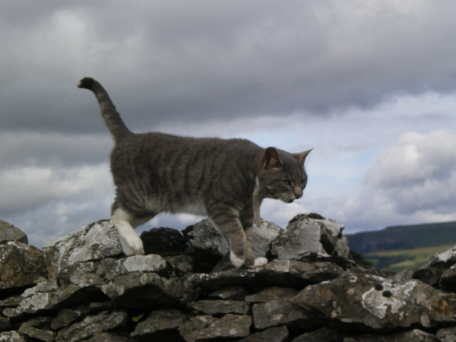 Cat on a dry stone wall