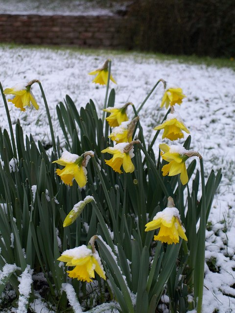 Daffodils in the snow, Torquay