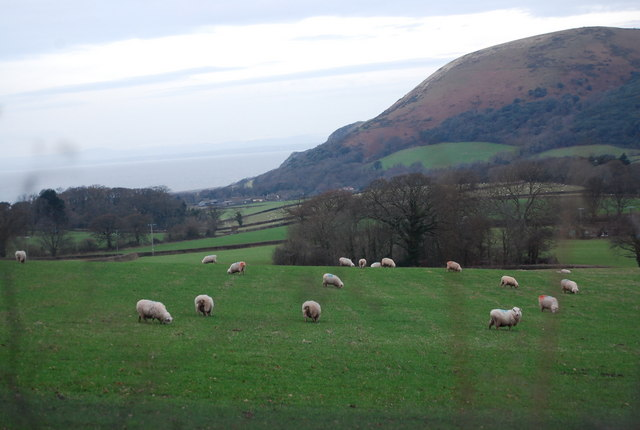 Sheep grazing above West Luccombe