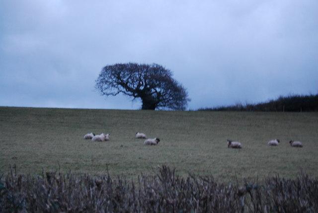 Sheep by Watery Lane