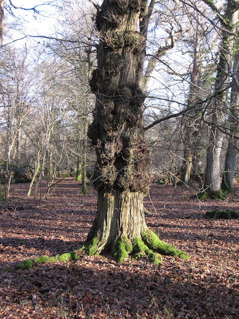 Tree in Whitley Wood