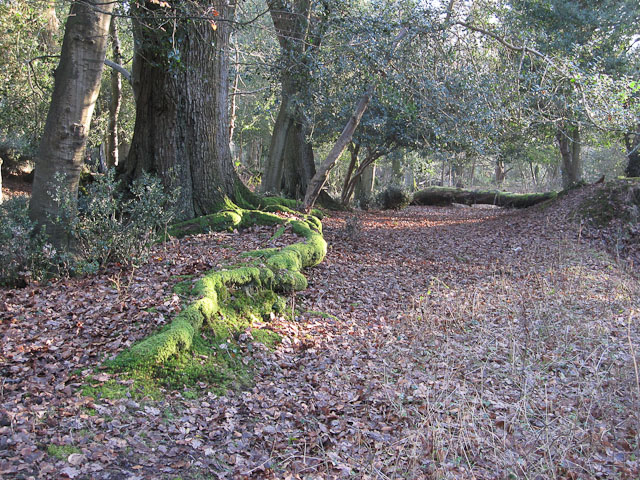 Mossy roots and pony browse line