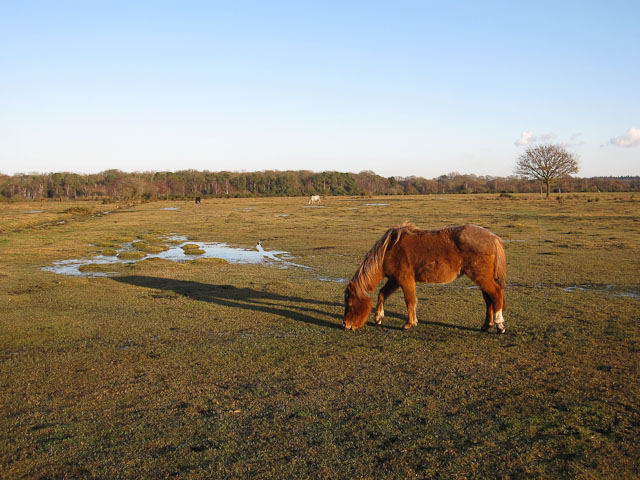 New Forest pony on Black Knowl