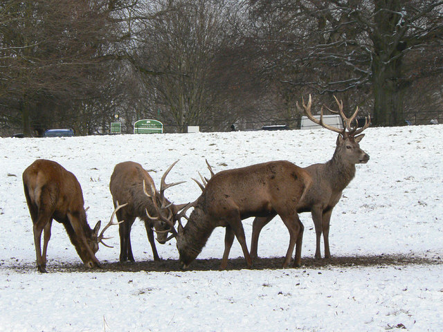 Red Deer in Wollaton Park