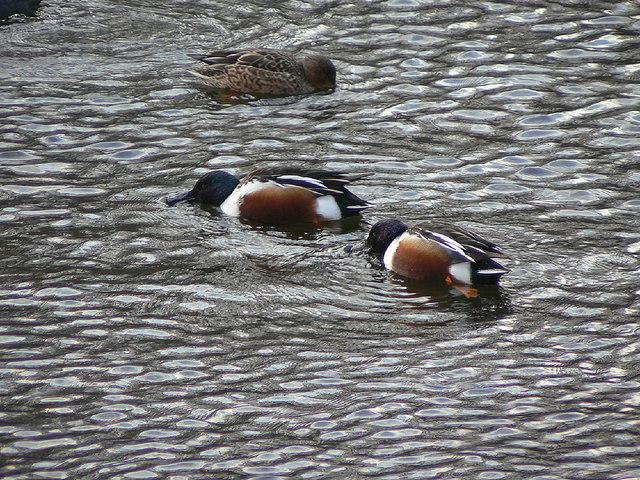 Shoveler on Wollaton Park lake
