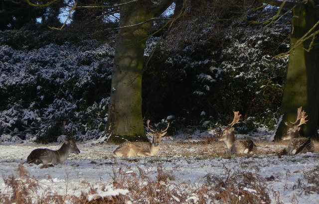 Fallow Deer on Arbour Hill