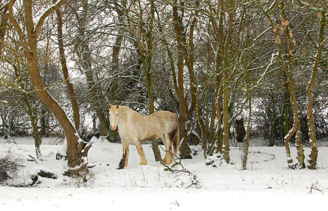 Grey horse sheltering from the snow, Broadwell