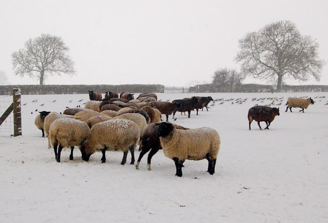 Sheep in the snow north of Broadwell