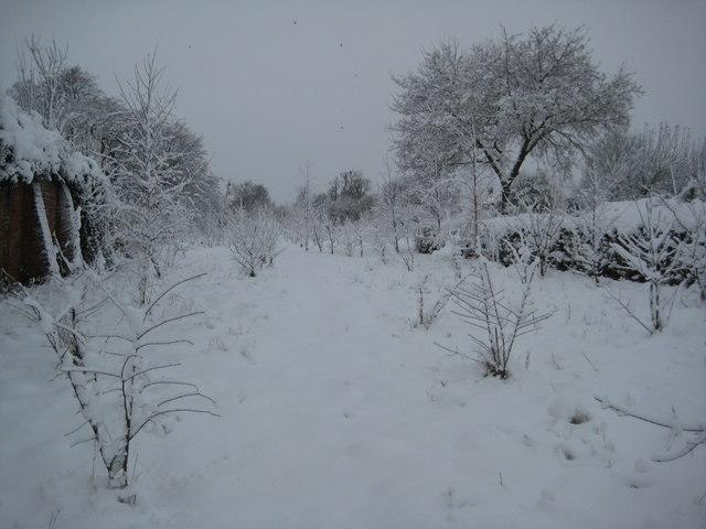 Sapling trees under heavy snow