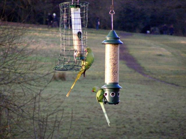 Ring-necked Parakeets on bird feeders, Hampstead Heath