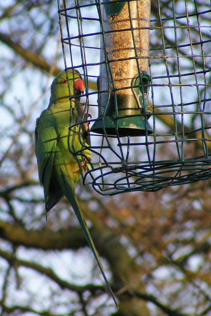 Ring-necked Parakeet on bird feeder, Hampstead Heath