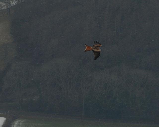 Red Kite / Barcud over Cwm Rheidol