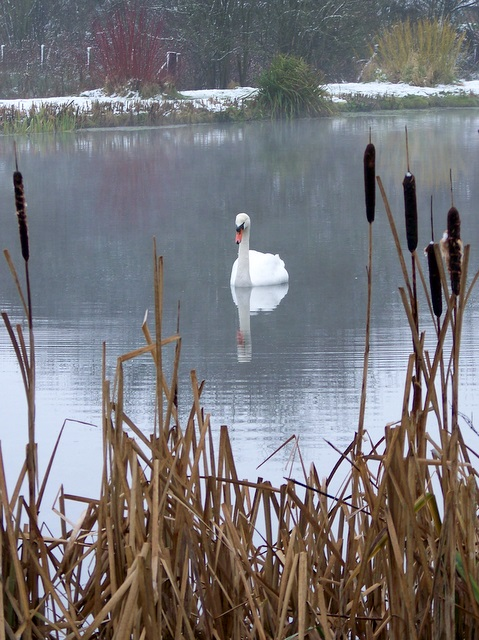 Swan on the Chalke Valley Fishing Lakes