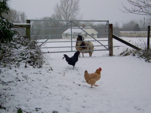 Chicken, Croucheston