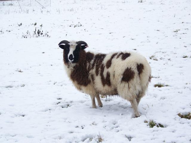 Jacob Sheep, Croucheston