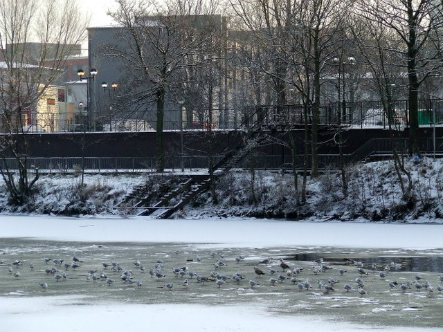 Seagulls on the frozen River Clyde