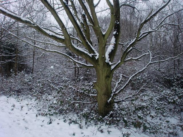 Snow covered tree, Oakwood Park, London N14