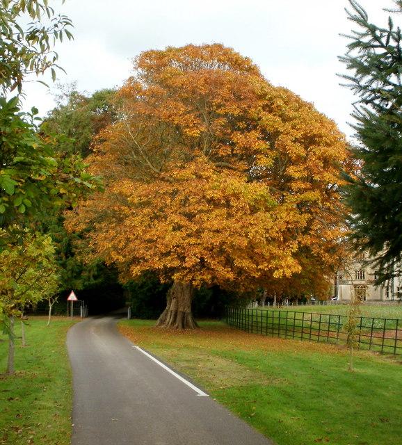 Golden Oak, Llantarnam Abbey