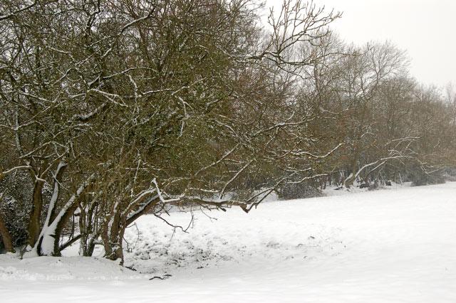 Fresh snowfall in a copse near Broadwell