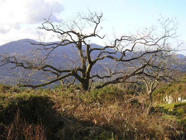 Snowdonia: Gnarled Oak
