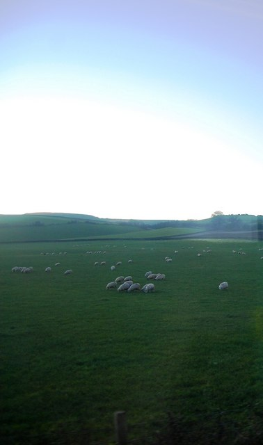 Sheep grazing by the A39
