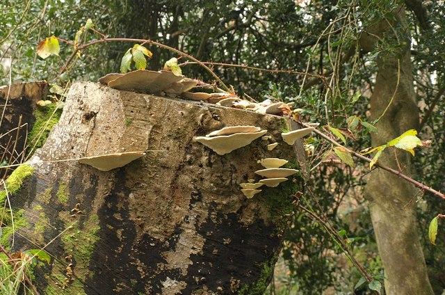 Bracket fungi near Crowcombe Heathfield