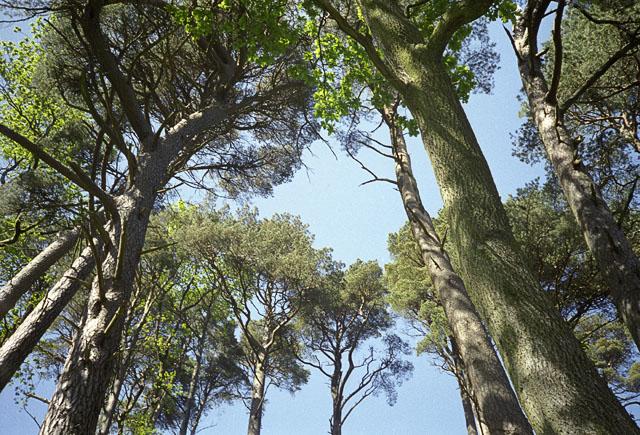 Tree canopy in Aros Park, near Tobermory